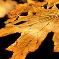 Golden Leaf by Mikki Cucuzzo