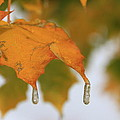 Golden Leaves Silvery Drops by Cynthia  Cox Cottam