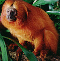 Golden Lion Tamarin Leontopithecus by Claus Meyer