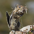 Golden-mantled Ground Squirrel by Konrad Wothe