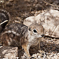 Golden Mantled Squirrel by Daniel Milligan