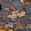 Golden Maple Dew Drops by LeeAnn McLaneGoetz McLaneGoetzStudioLLCcom