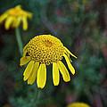 Golden Margurite by Susan Herber