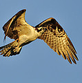 Golden Osprey In Dawn's Early Light by Bill Dodsworth
