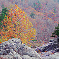 Golden Poplar Among The Rocks At Johnsons Shut Ins State Park by Greg Matchick