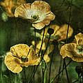 Golden Poppies by Bonnie Bruno
