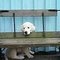 Golden Retrieven Puppy by Mikael Törnwall