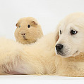Golden Retriever Pup And Guinea Pig by Mark Taylor