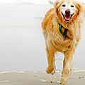 Golden Retriever Running On Beach by Stephen O'Byrne