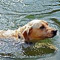 Golden Retriever Swimming Close by Susan Leggett