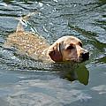 Golden Retriever Swimming by Susan Leggett