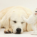 Golden Retriever With Two Kittens by Mark Taylor