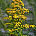 Golden Rod by Susan Herber