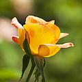 Golden Rose by Kenneth Albin