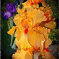 Golden Ruffles 2 by Susan  Lipschutz