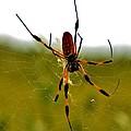 Golden Silk Spider by Sara Edens
