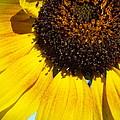 Golden Sunflower by Christina Shaskus