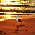 Golden Sunrise Seagull by Bill Cannon