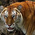 Golden Tabby Bengal Tiger by Bill Dodsworth