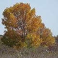 Golden Tree II by Bonfire Photography