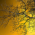 Golden Walnut Tree by Heinz G Mielke