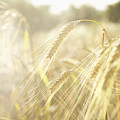 Golden Wheat Field In Sunlight, Close-up by Lisa Stirling