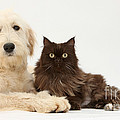 Goldendoodle And Chocolate Cat by Mark Taylor