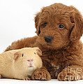 Goldendoodle Puppy And Guinea Pig by Mark Taylor