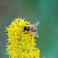 Goldenrod Visitor 3 by Michael Peychich