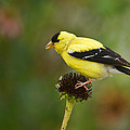 Goldfinch by Alan Hutchins