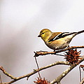 Goldfinch In Sweetgum by Travis Truelove