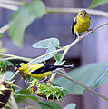 Goldfinch Pair by Stephen  Johnson