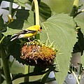Goldfinch Picking The Seed  by Yumi Johnson