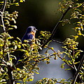 Good Morning Sunshine - Eastern Bluebird by Travis Truelove