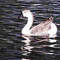 Goose And Lake by Jayne Kerr