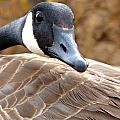Canadian Goose  by DS Dodd