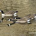 Goose Giving A Warning by Lori Tordsen