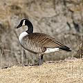 Goose Standing Still by Lori Tordsen