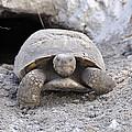 Gopher Tortoise by Rich Bodane