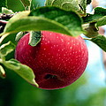 Gorgeous Red Apple by Pamela Muzyka