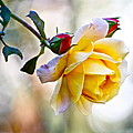 Gorgeous Roses by Alice Gipson