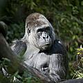 Gorilla by Chris Dutton