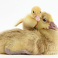 Gosling And Duckling by Mark Taylor