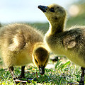Goslings 6 by Sharon Talson