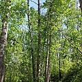 Graceful Aspen Poplars by Jim Sauchyn