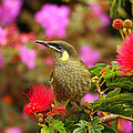 Graceful Honeyeater by Andrew McInnes