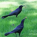 Grackles In The Yard by Mary Deal