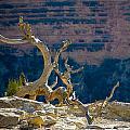 Grand Canyon Dead Tree by Julie Niemela