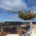 Grand Canyon Struggling Tree by Judee Stalmack