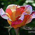 Grandiflora by Susan Herber